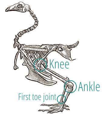 A drawing of a bird's skeleton, demonstrating the positioning of the knee and ankle joints.