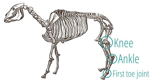 A drawing of a horse's skeleton, demonstrating the positioning of the knee and ankle joints.