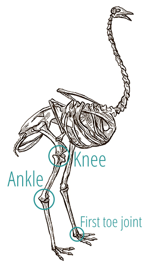 A drawing of an ostrich's skeleton, demonstrating the positioning of the knee and ankle joints.