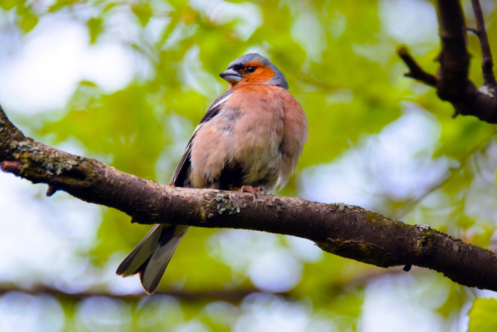 Chaffinch bird, Fringlla colebs, songbird of the family of finches, bird, close, common in Europe, Western Asia and North Africa; settles in the East, the wild bird in summer, bird on a branch.