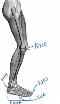 Muscle and skeletal diagram of a human leg