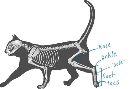 Skeletal diagram of a cat