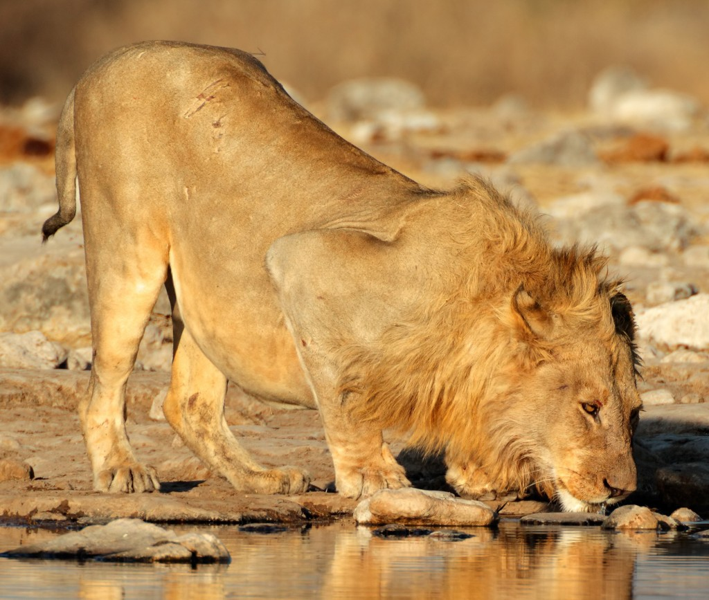 African-Lion-Drinking